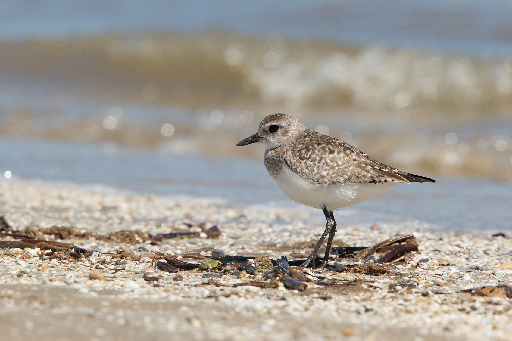 BLACK-BELLIED PLOVER - GALVESTON COUNTY TX MARCH, 2016