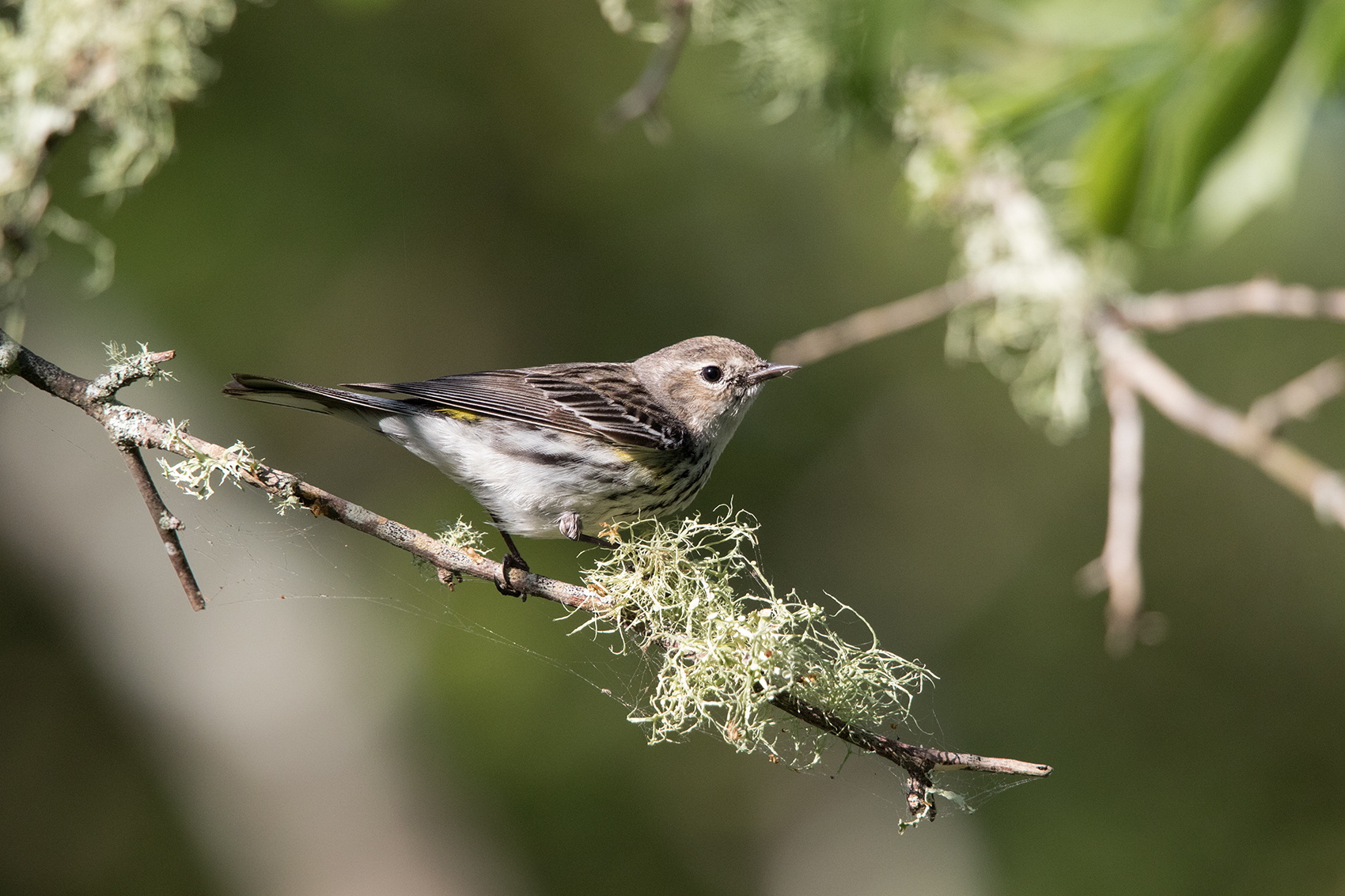 YELLOW-RUMPED WARBLER - GALVESTON COUNTY TX APRIL, 2016