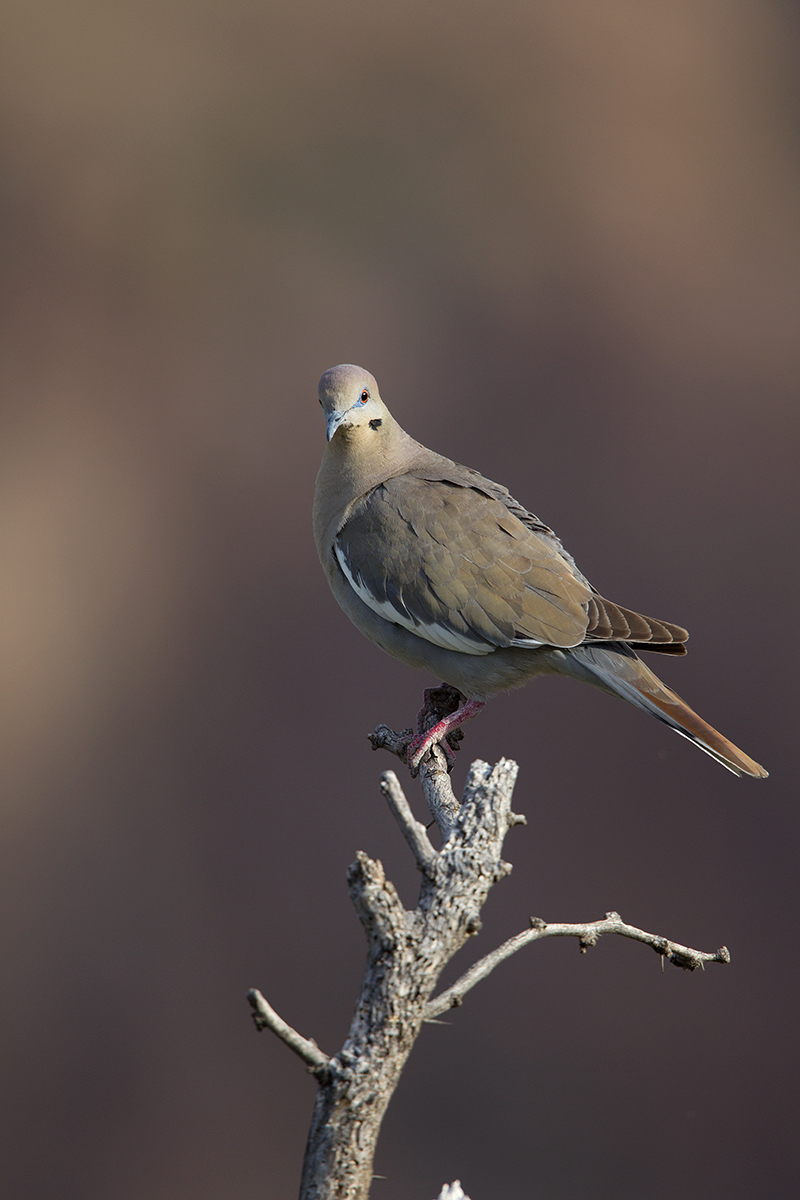 WHITE-WINGED DOVE - BREWSTER COUNTY TX MAY, 2016