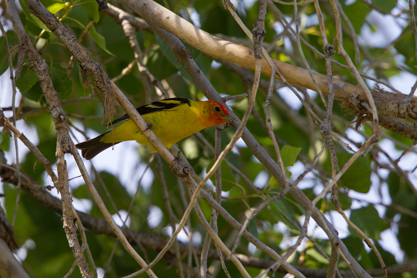 WESTERN TANAGER - BREWSTER COUNTY TX MAY, 2016