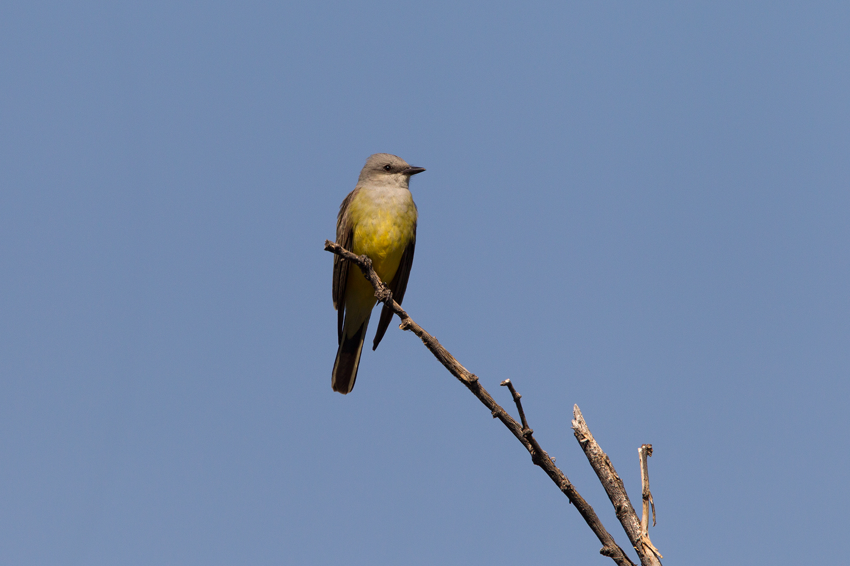 WESTERN KINGBIRD - BREWSTER COUNTY TX MAY, 2016