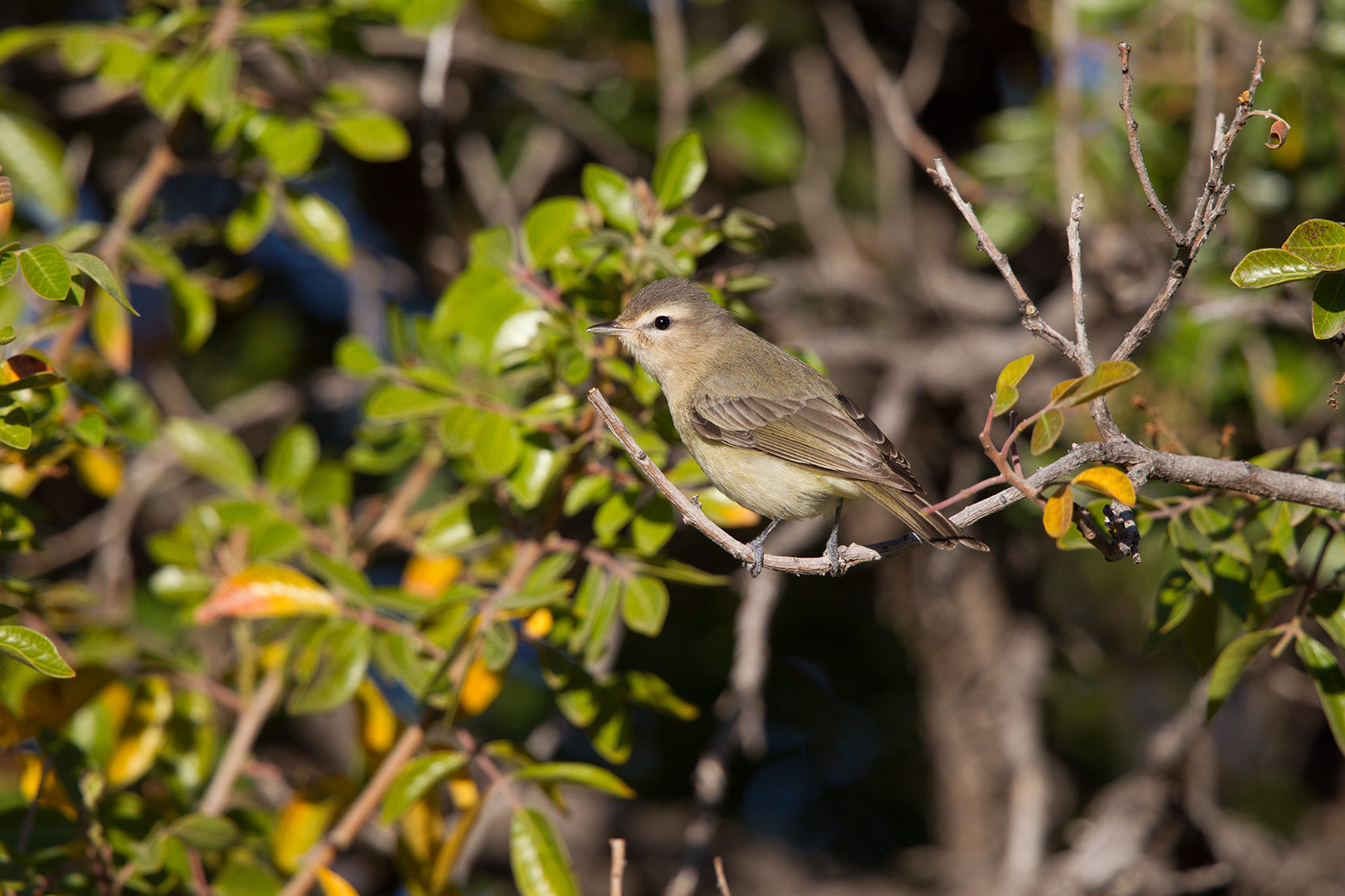 WARBLING VIREO - BREWSTER COUNTY TX MAY, 2016