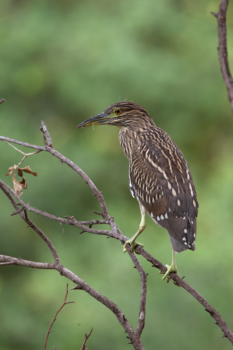 BLACK-CROWNED NIGH-HERON - DALLAS COUNTY TX