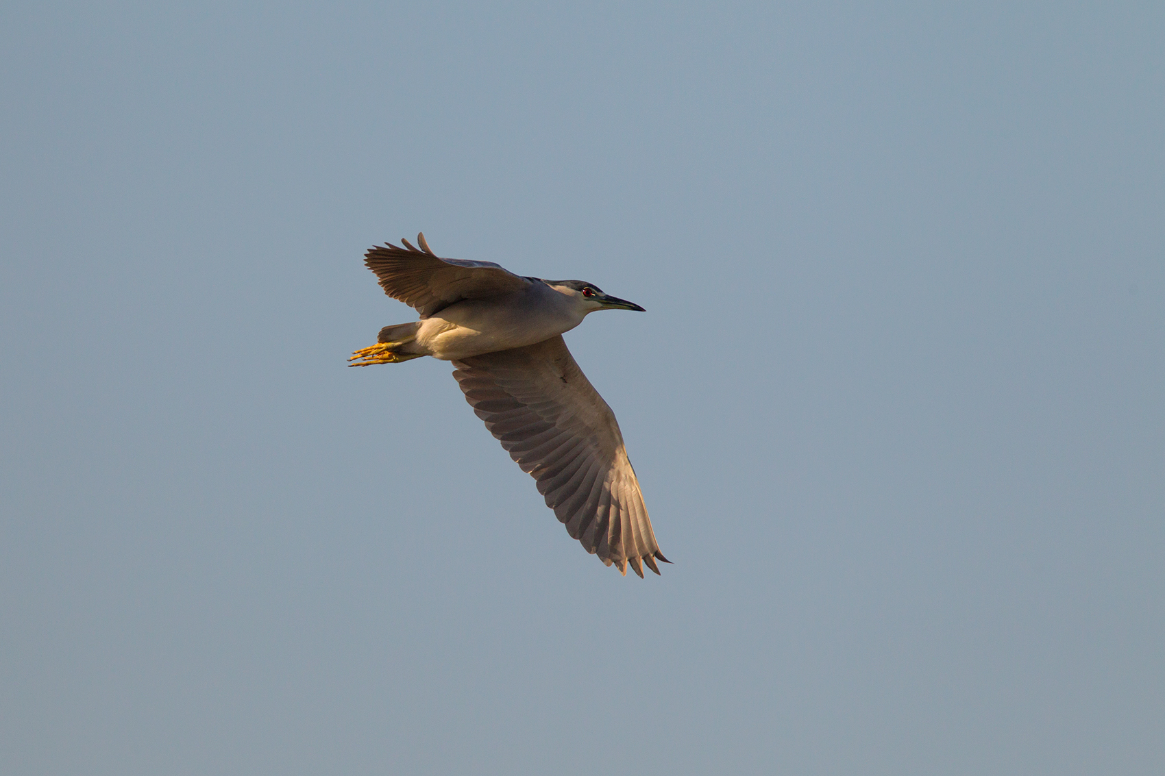 BLACK-CROWNED NIGH-HERON - GALVESTON COUNTY TX