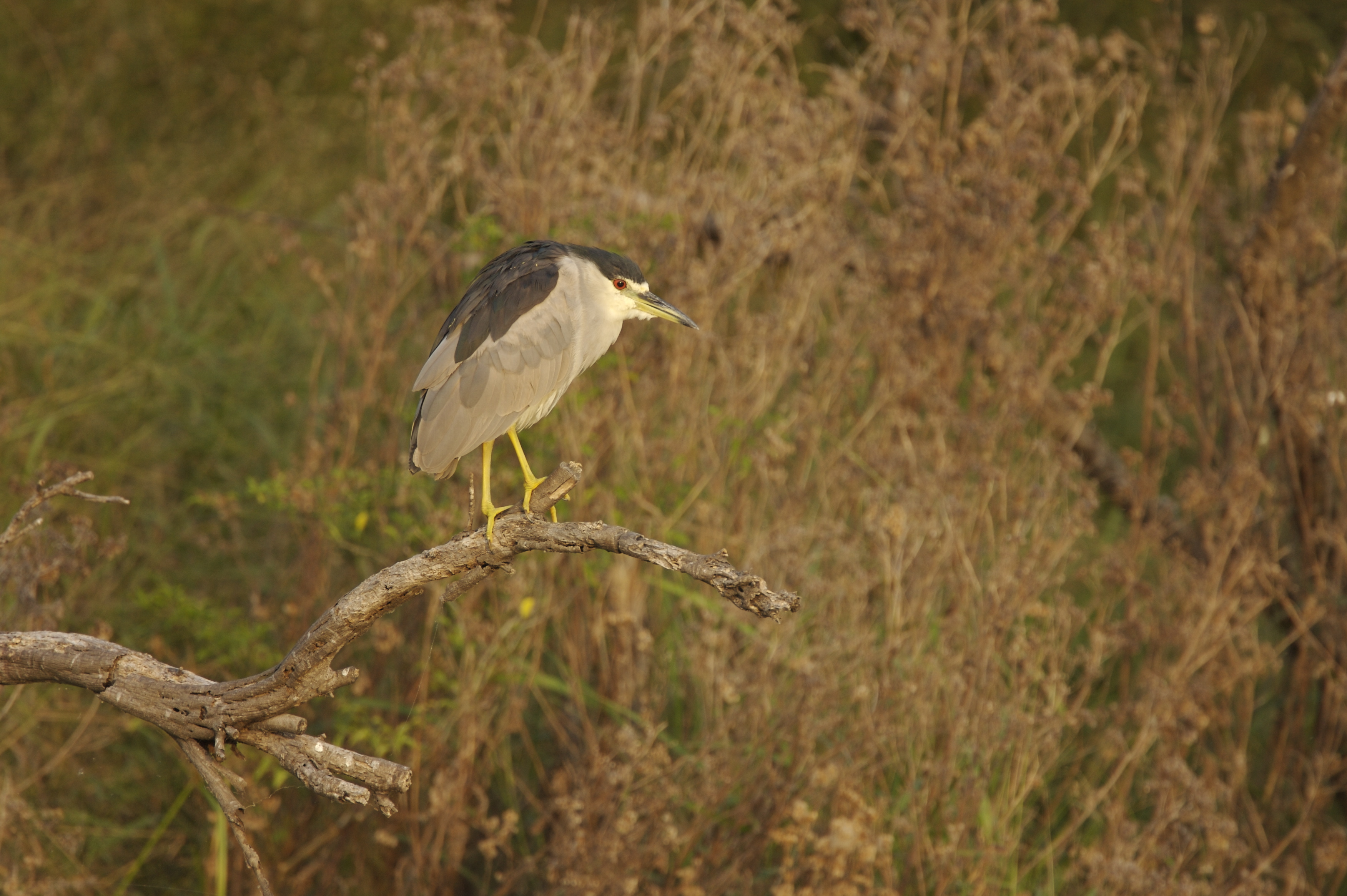 BLACK-CROWNED NIGH-HERON - HIDALGO COUNTY TX