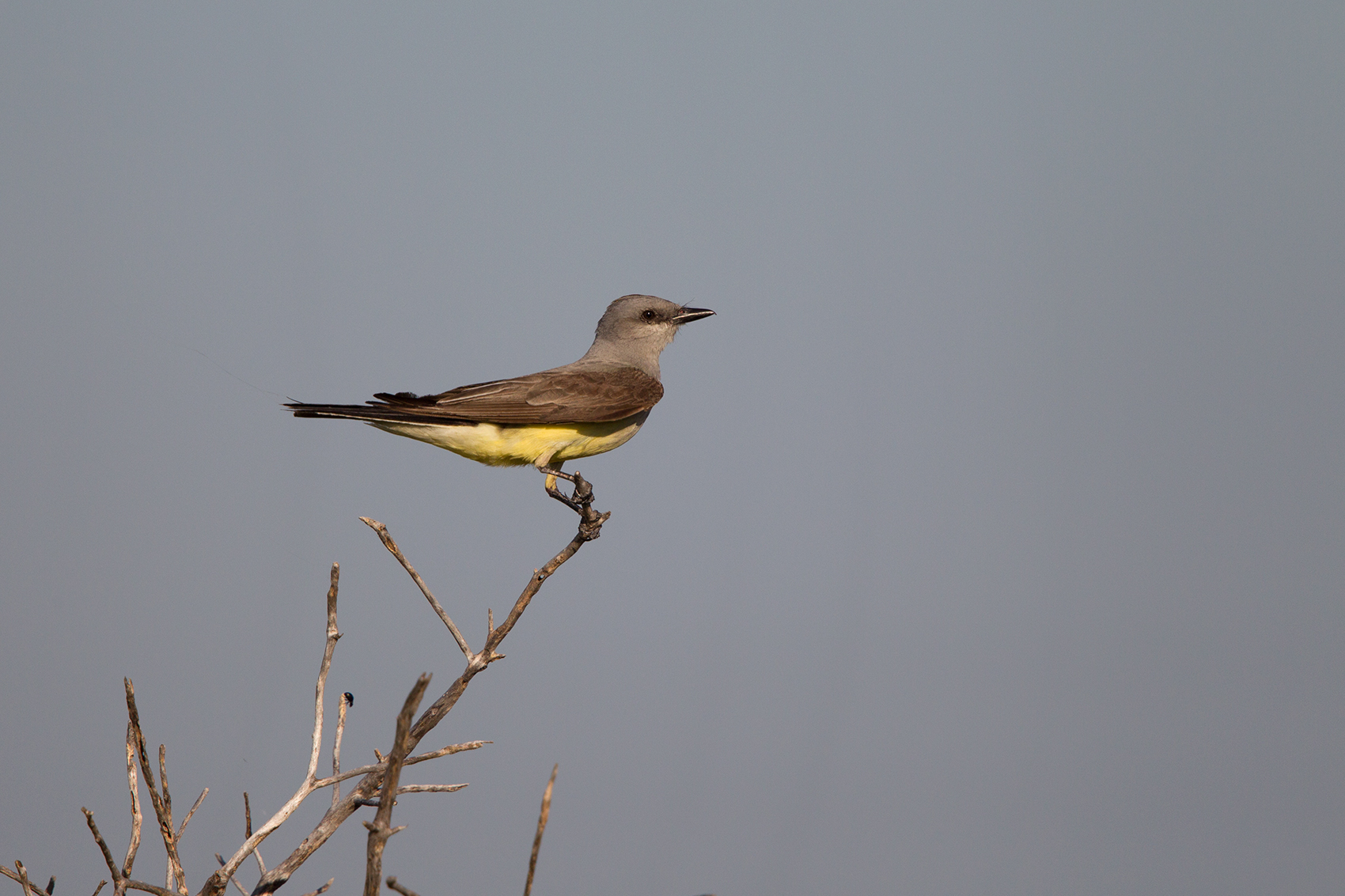 WESTERN KINGBIRD - TAYLOR COUNTY TX JUNE, 2016