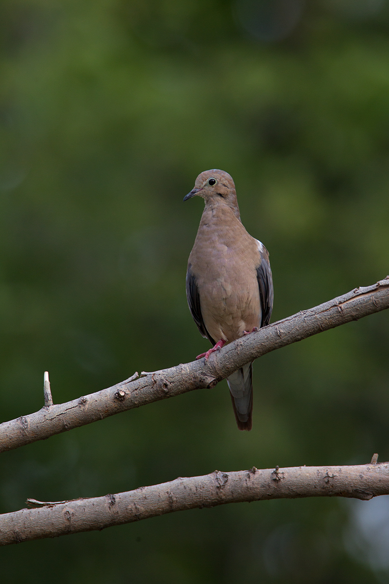 MOURNING DOVE - DALLAS COUNTY TX