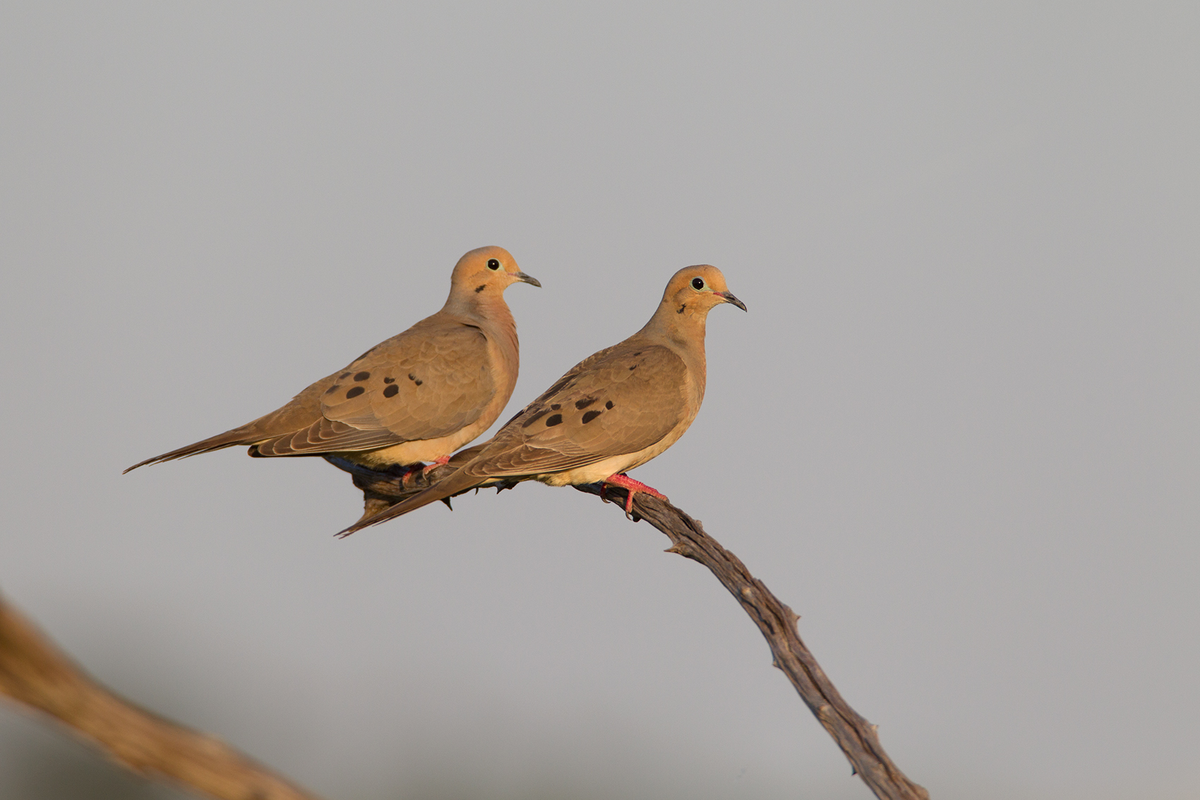 MOURNING DOVE - GRAYSON COUNTY TX