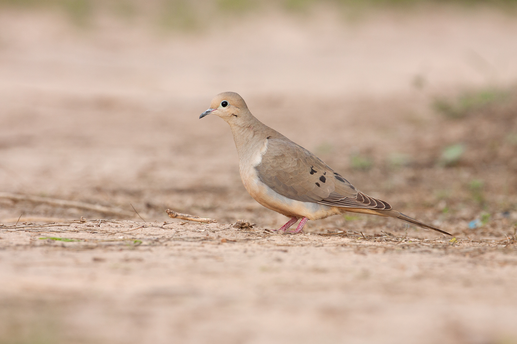 MOURNING DOVE - HIDALGO COUNTY TX