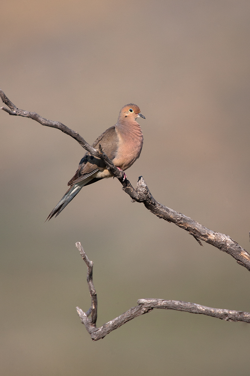 MOURNING DOVE - TERRELL COUNTY TX