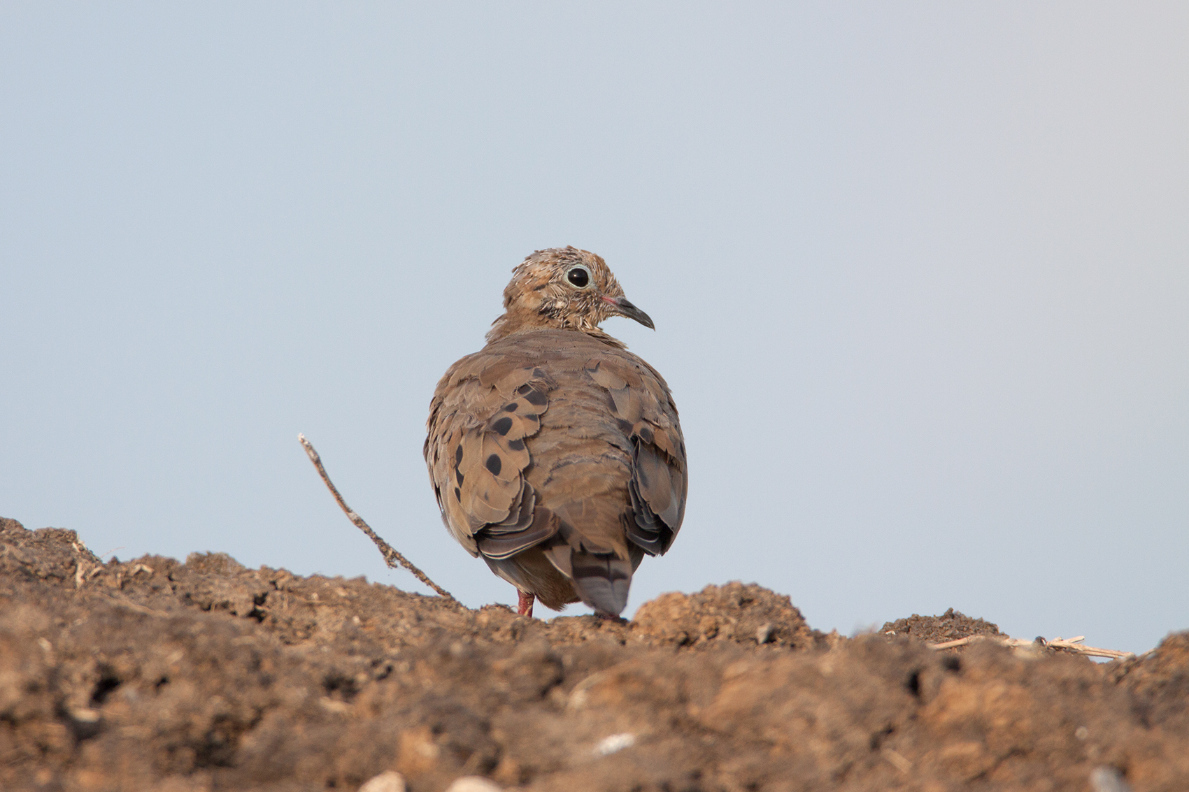 MOURNING DOVE - TARRANT COUNTY TX