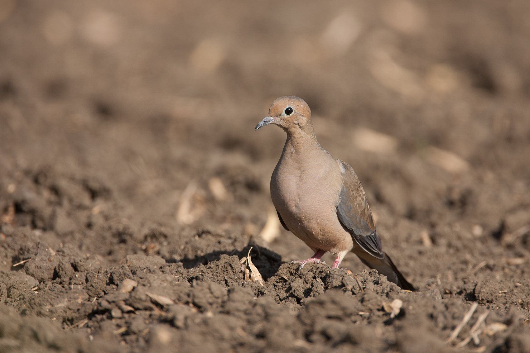 MOURNING DOVE - DENTON COUNTY TX