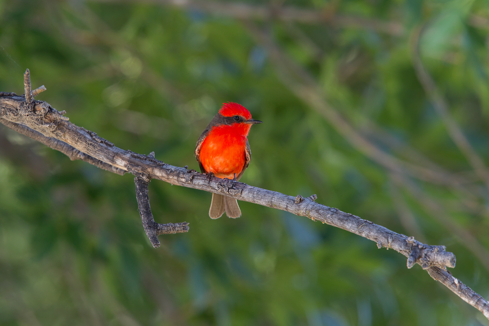VERMILLION FLYCATCHER - BREWSTER COUNTY TX MAY, 2016