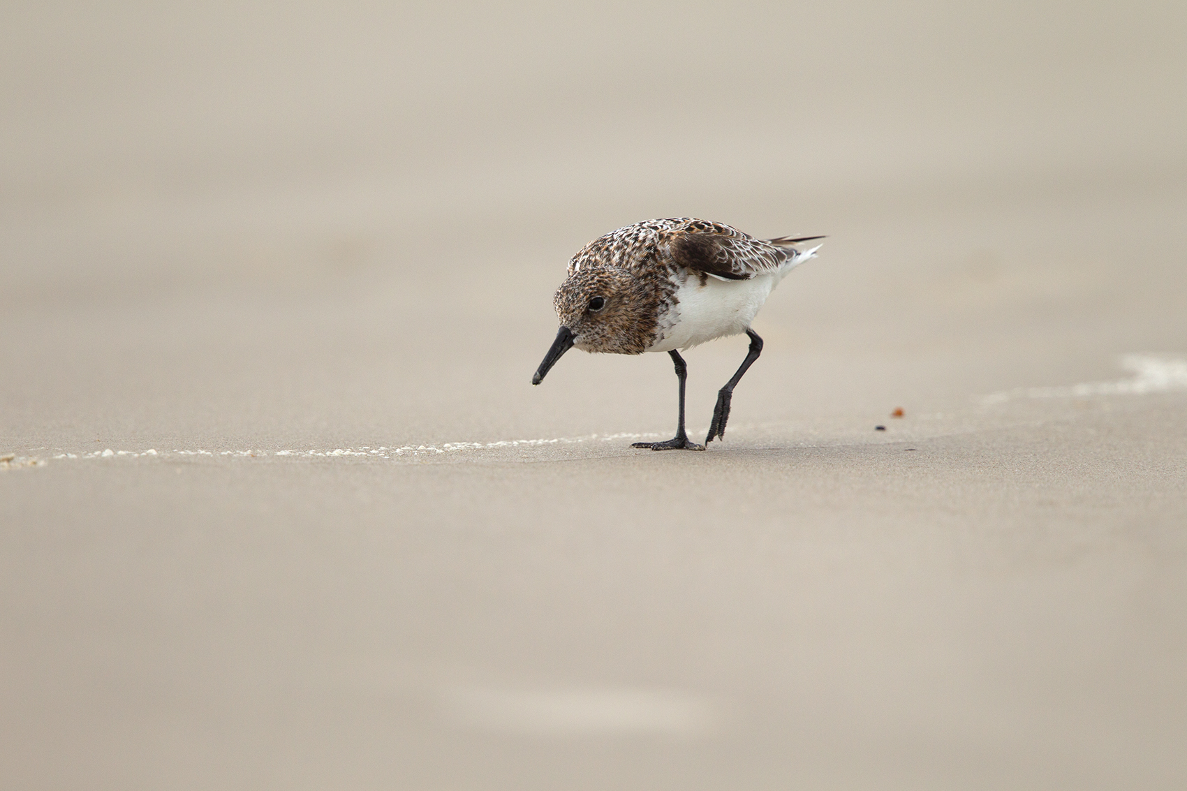 SANDERLING - GALVESTON COUNTY TX MAY, 2016