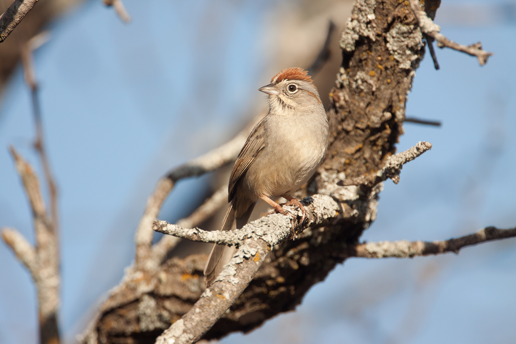 RUFOUS-CROWNED SPARROW - BROWN COUNTY TX