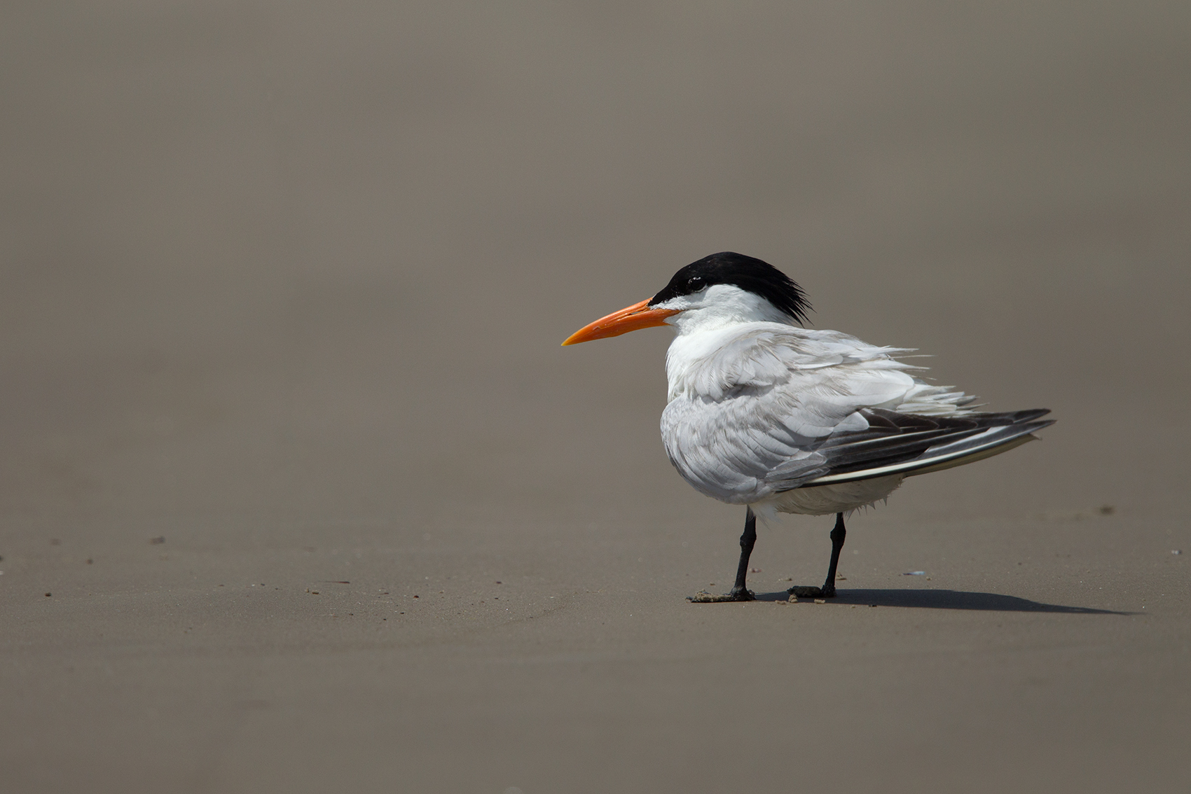 ROYAL TERN - GALVESTON COUNTY TX MAY, 2016