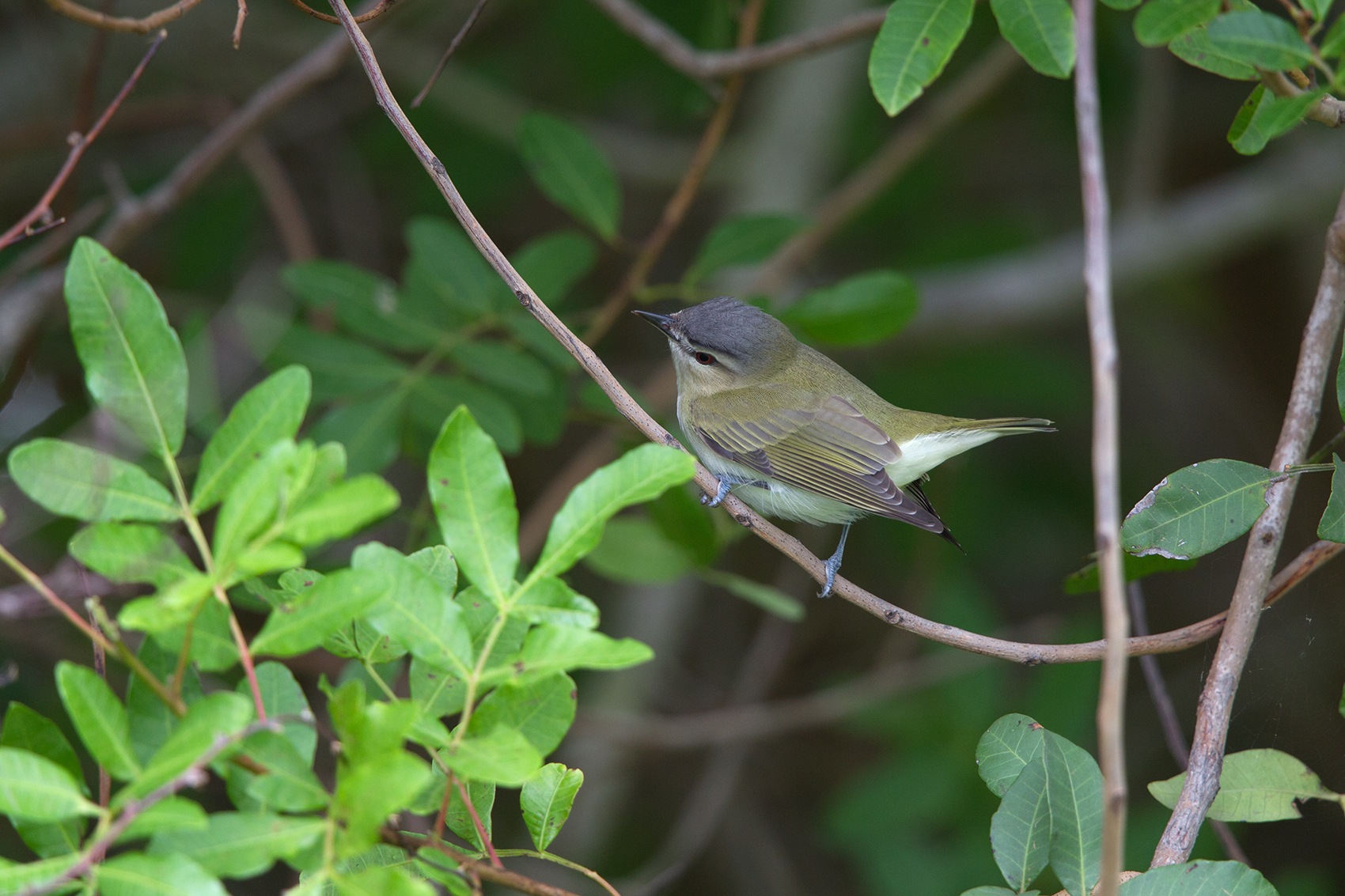 RED-EYED VIREO - NUECES COUNTY TX MAY, 2016