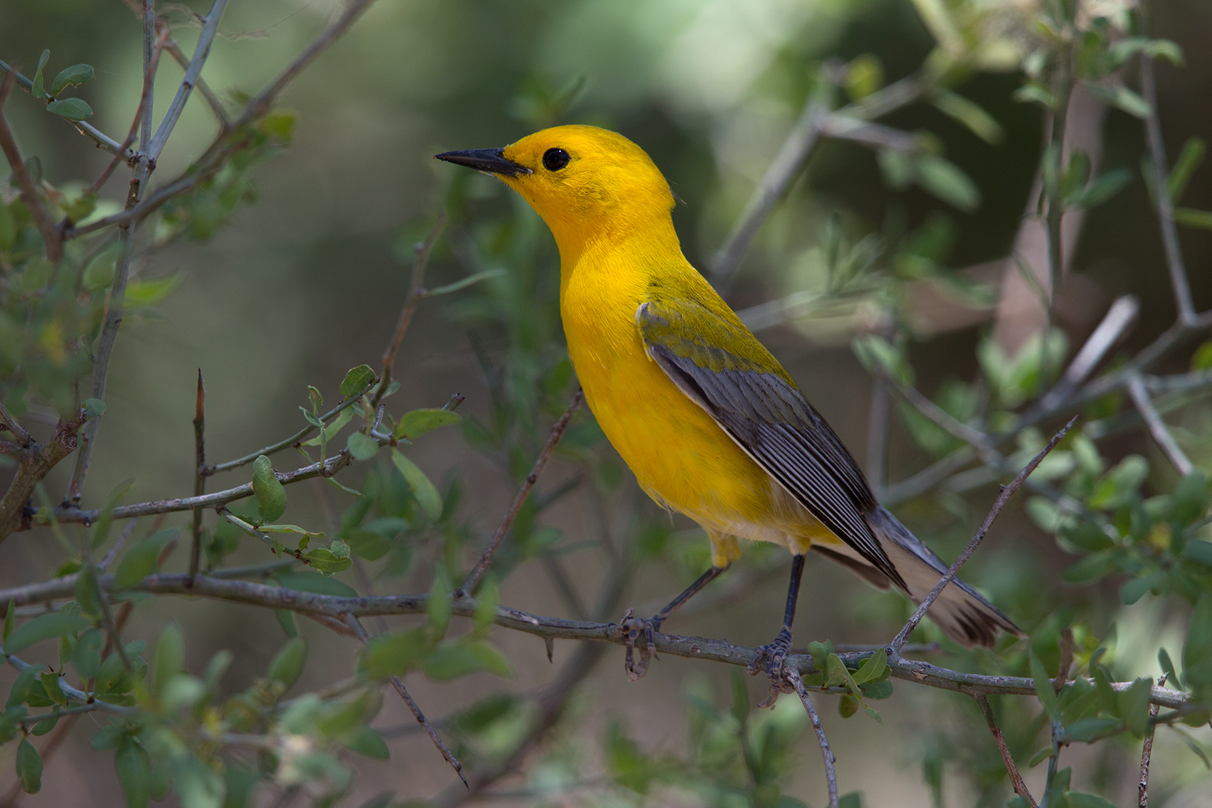 PROTHONOTARY WARBLER - BREWSTER COUNTY TX MAY, 2016