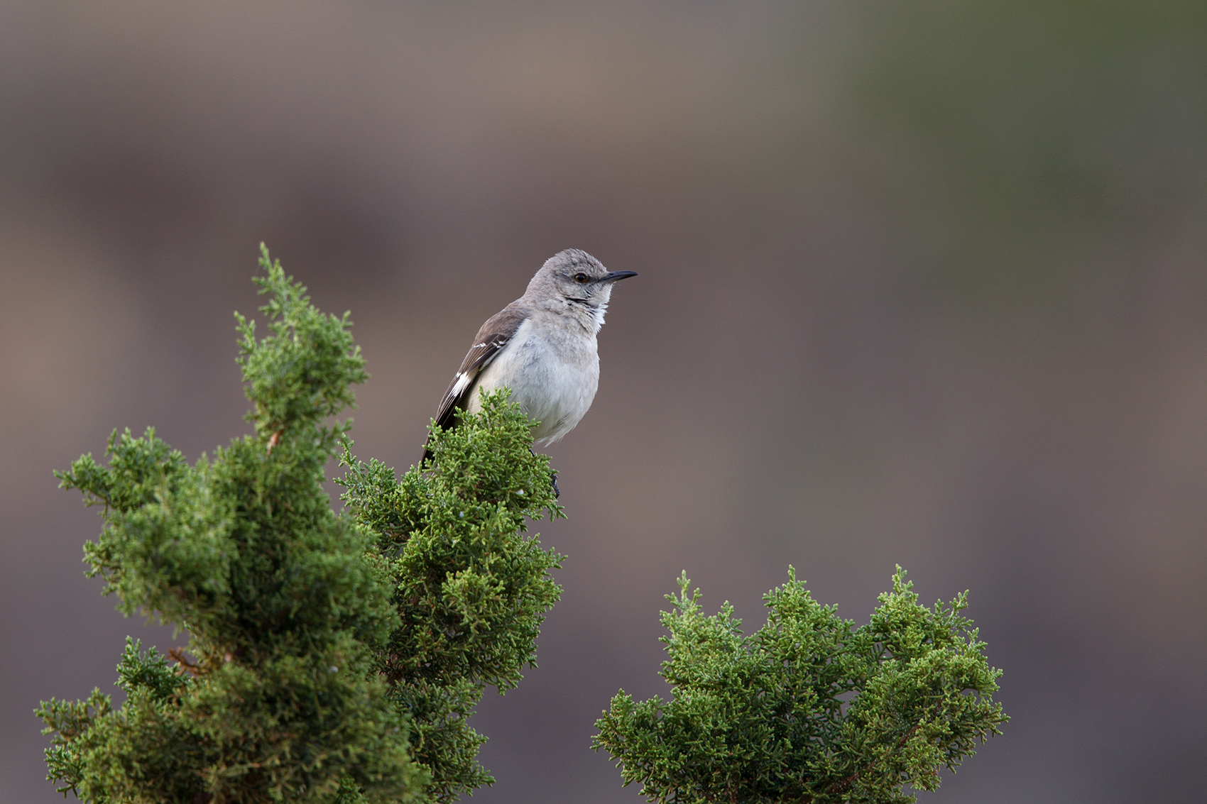 NORTHERN MOCKINGBIRD - BREWSTER COUNTY TX MAY, 2016