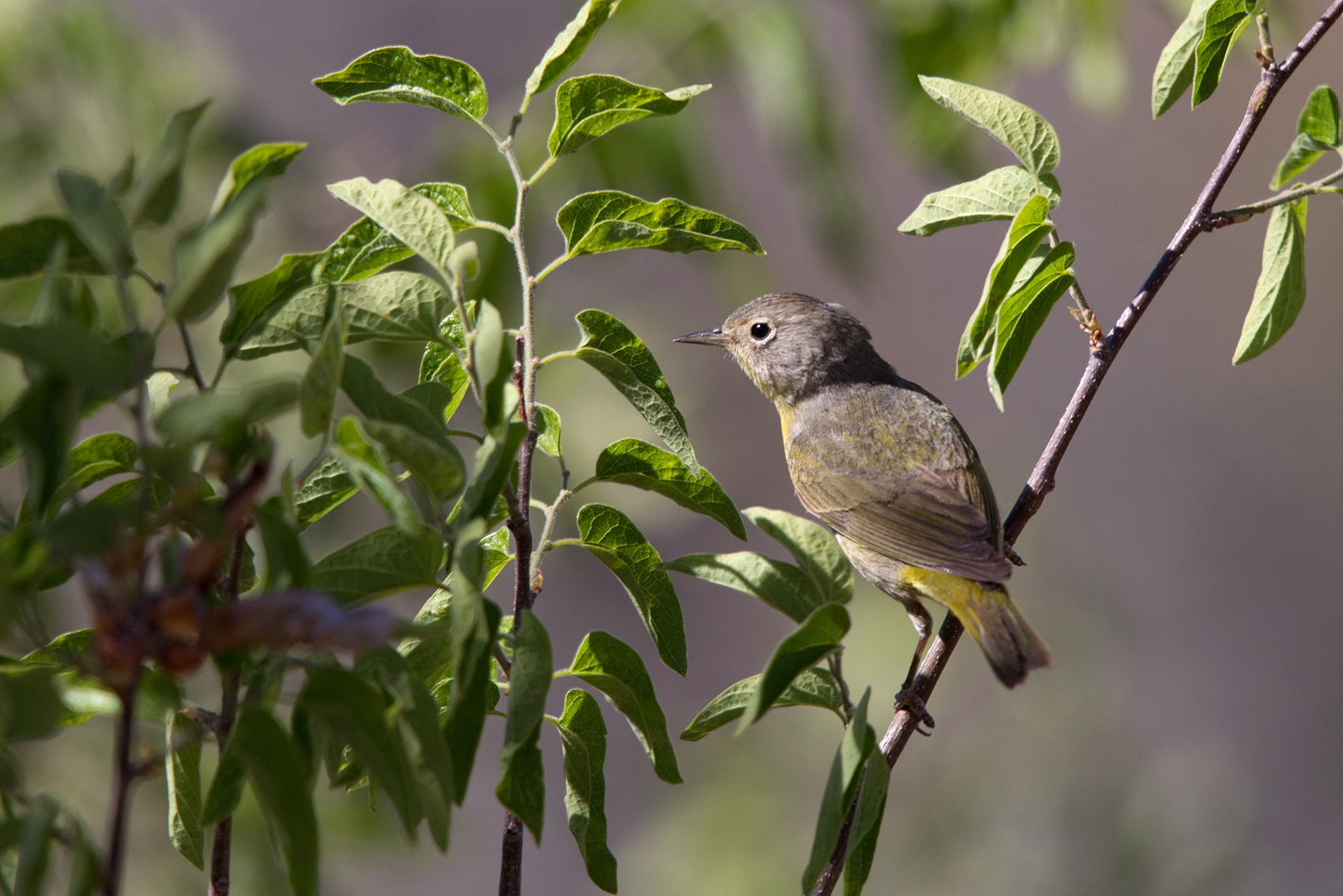 NASHVILLE WARBLER - BREWSTER COUNTY TX MAY, 2016