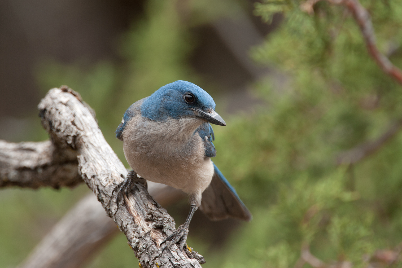 MEXICAN JAY - BREWSTER COUNTY TX