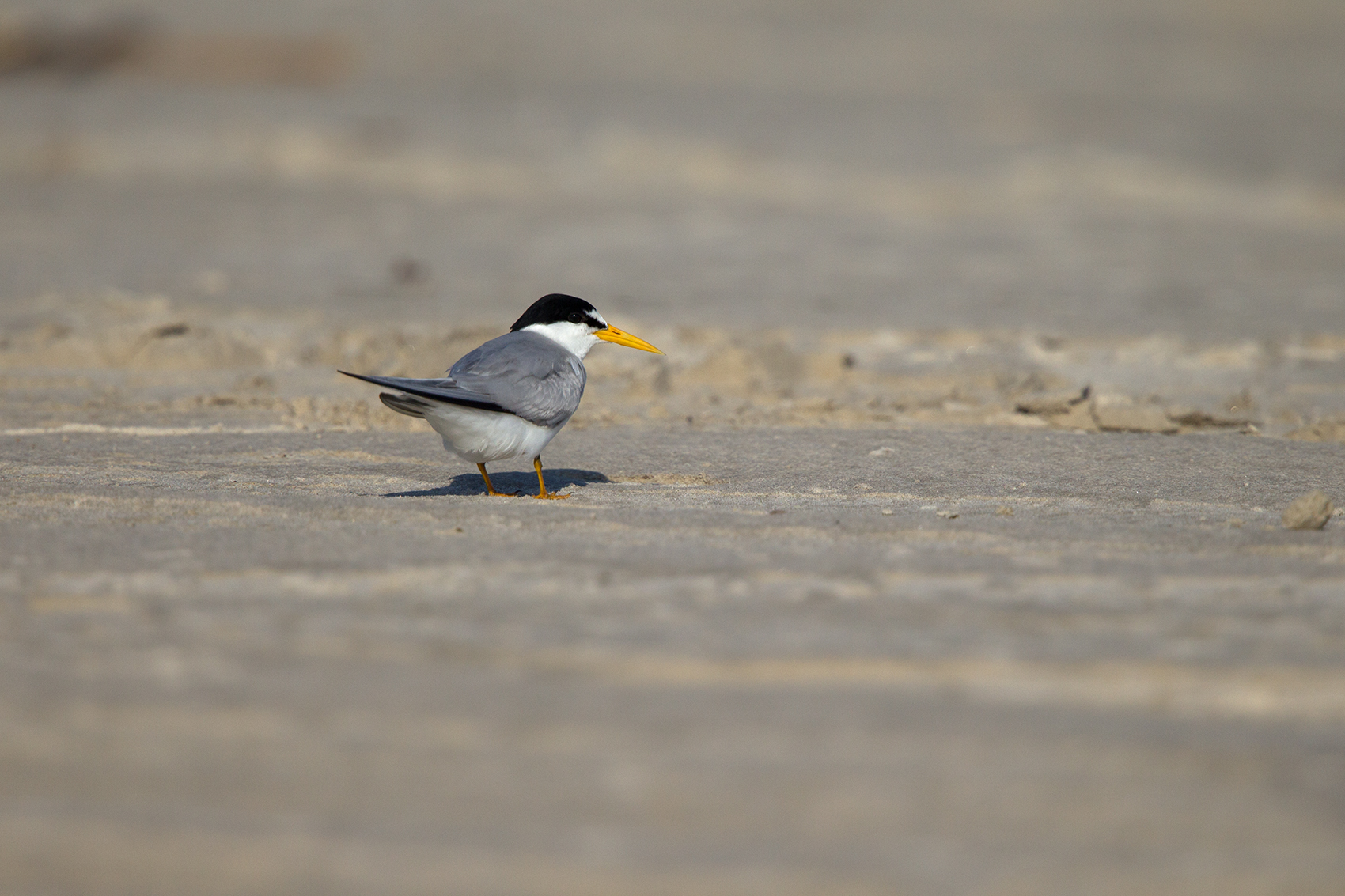 LEAST TERN - GALVESTON COUNTY TX MAY, 2016