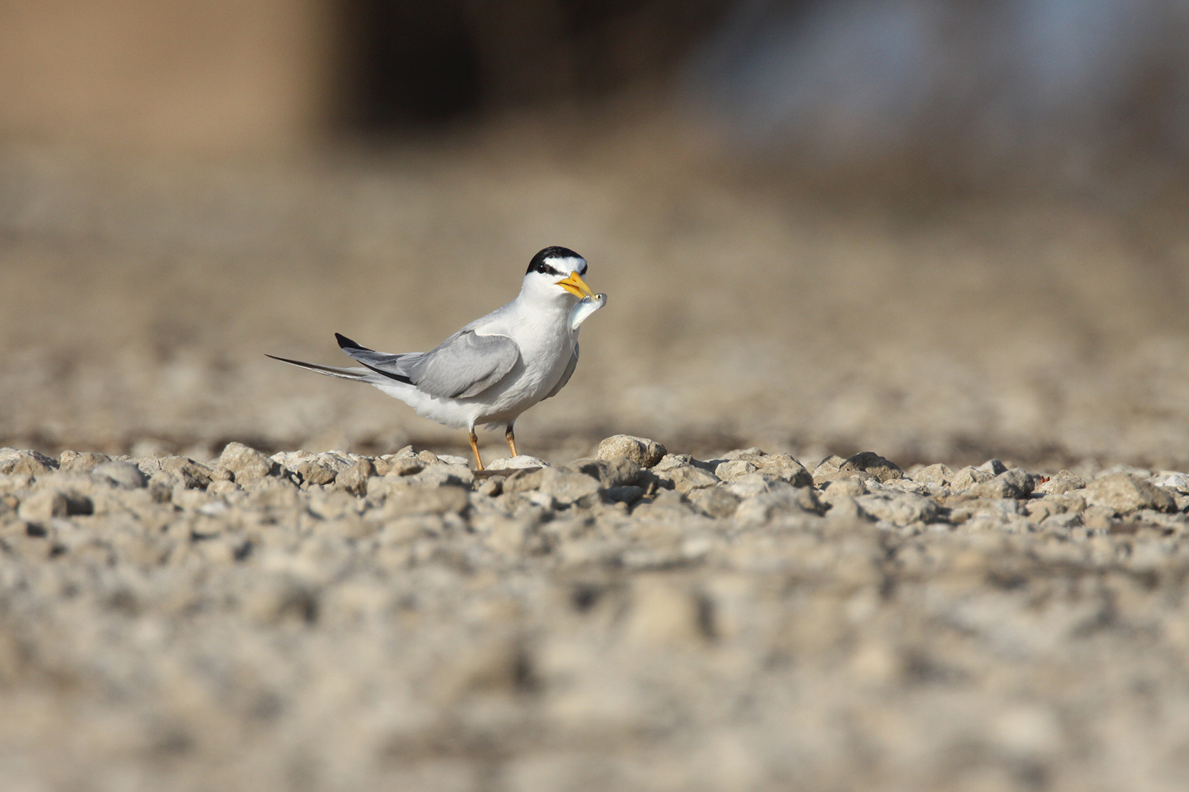 LEAST TERN - GRAYSON COUNTY TX