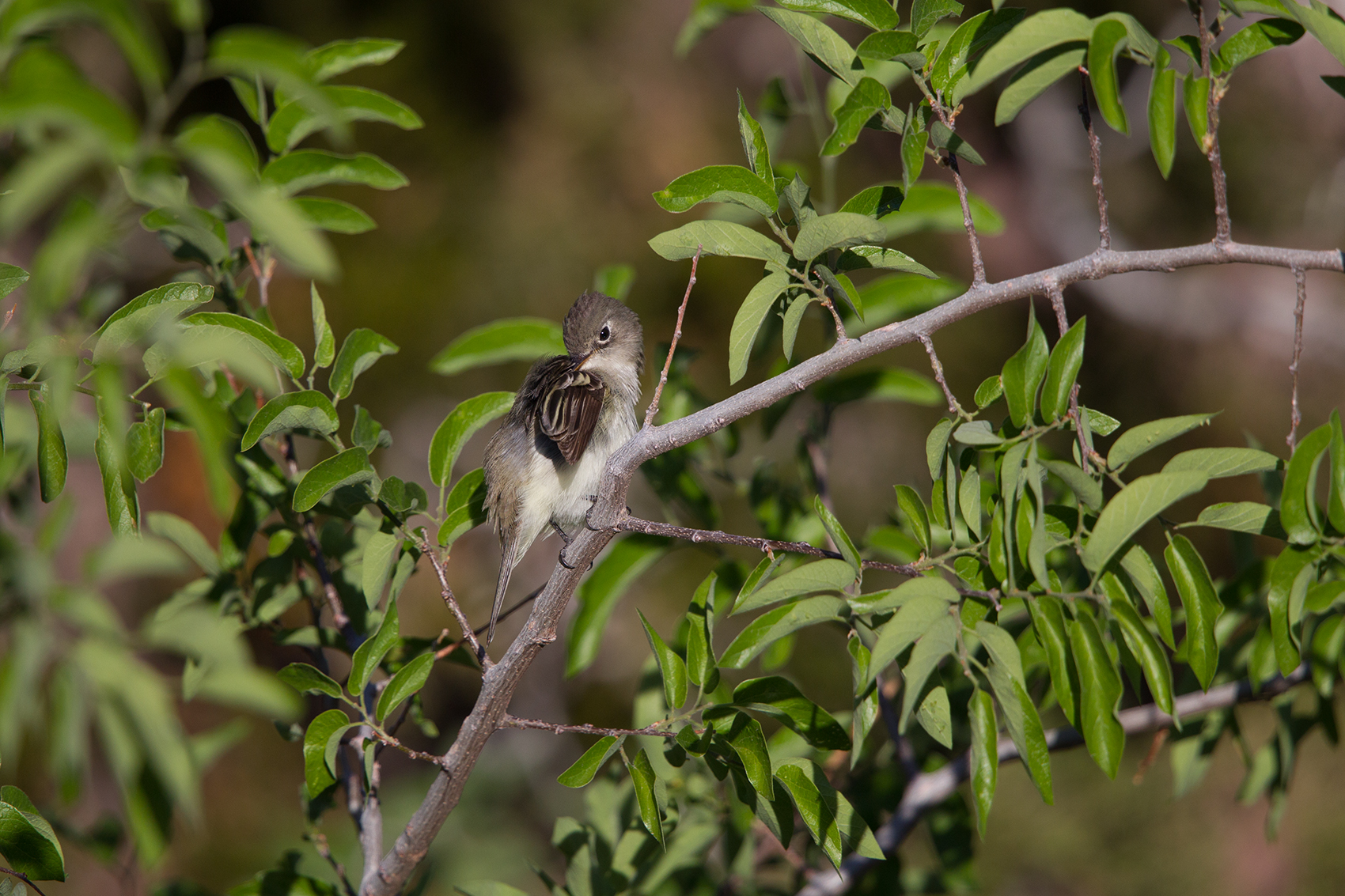 LEAST FLYCATCHER - BREWSTER COUNTY TX MAY, 2016