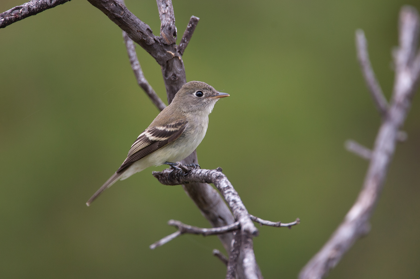 LEAST FLYCATCHER - BREWSTER COUNTY TX