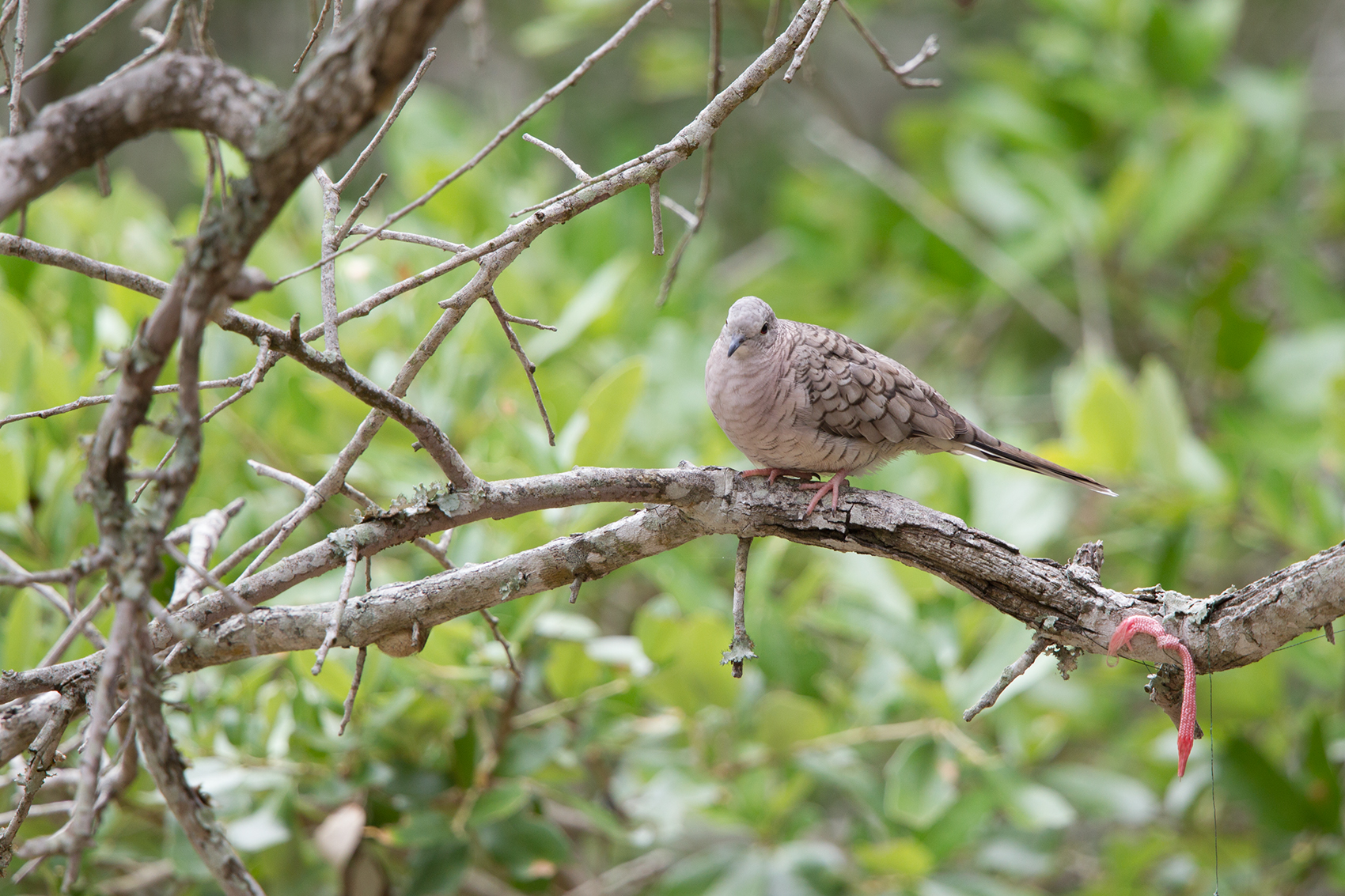 INCA DOVE - ARANSAS COUNTY TX MAY, 2016