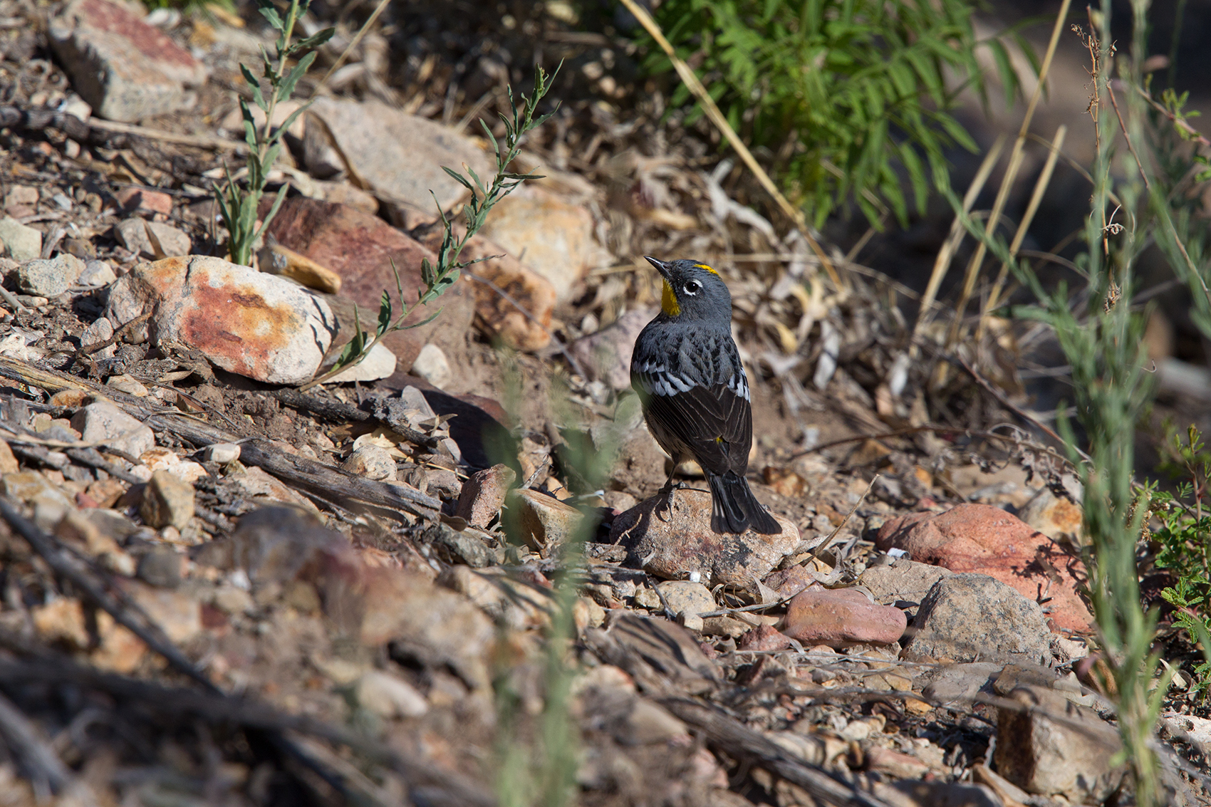 YELLOW-RUMPED WARBLER - BREWSTER COUNTY TX MAY, 2016