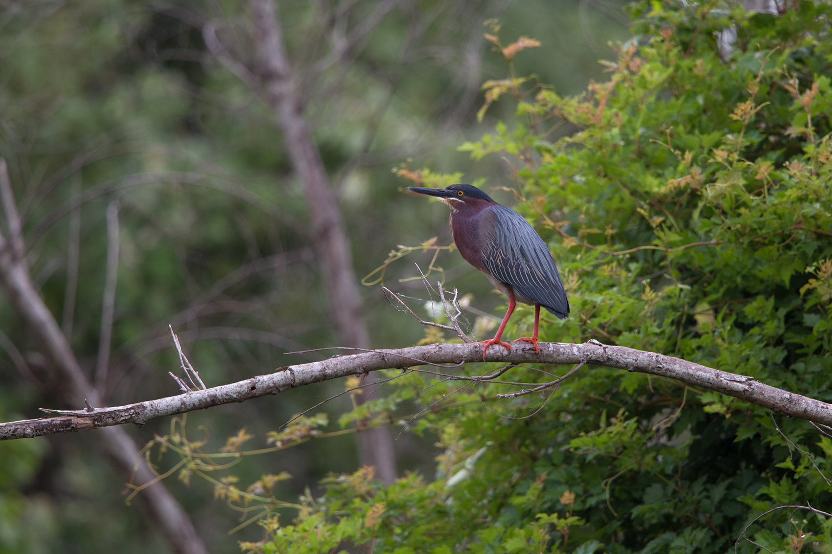GREEN HERON - ARANSAS COUNTY TX MAY, 2016