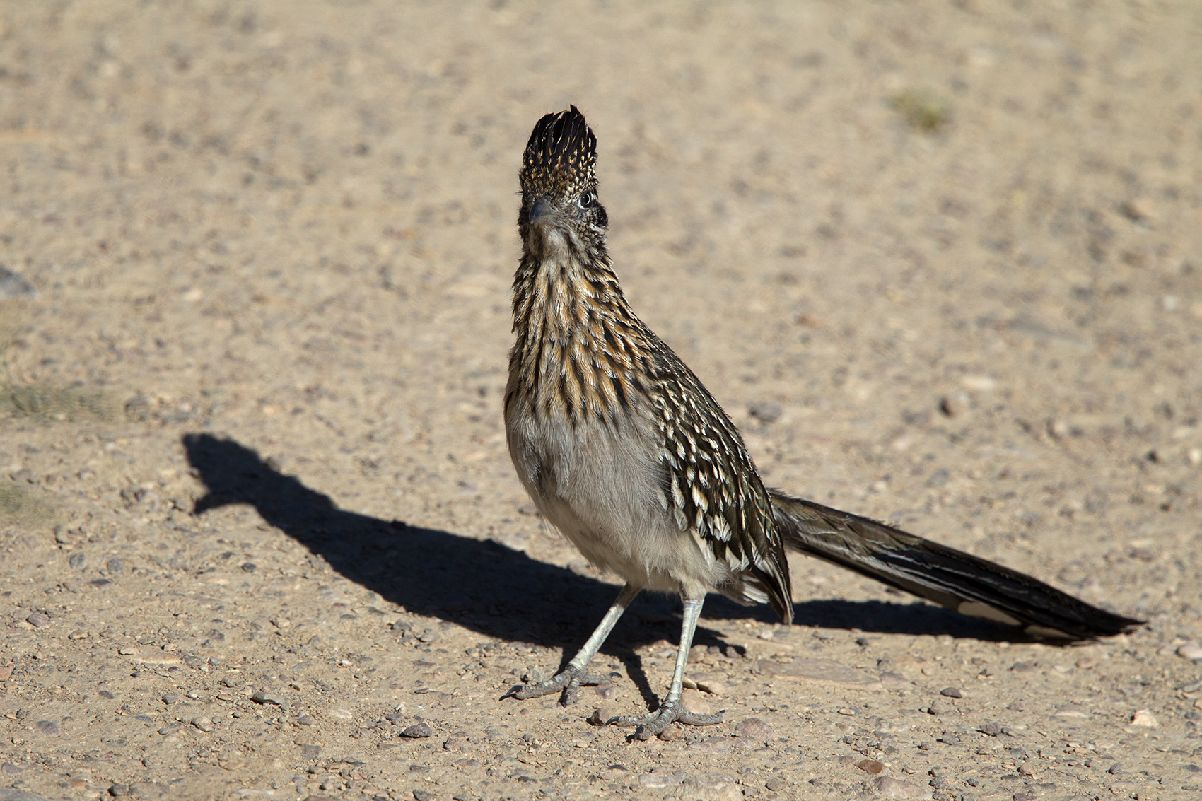 GREATER ROADRUNNER - BREWSTER COUNTY TX MAY, 2016