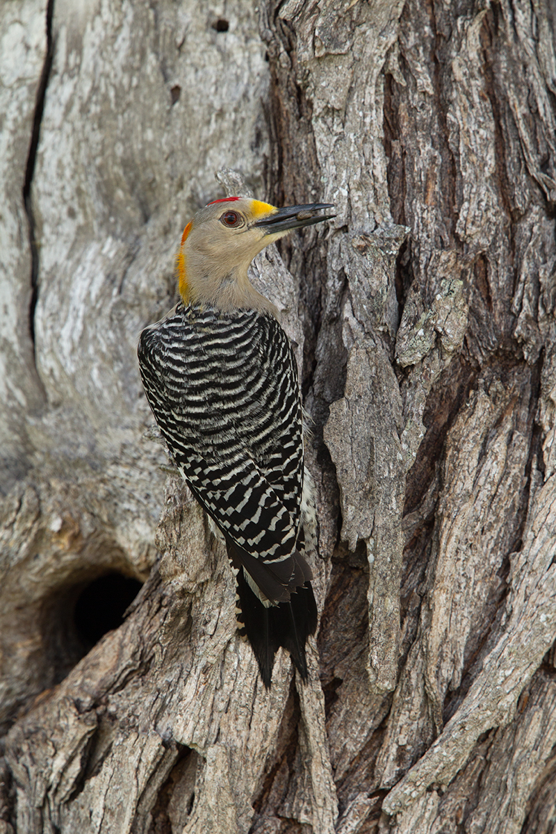 GOLDEN-FRONTED WOODPECKER - MCMULLEN COUNTY TX MAY, 2016