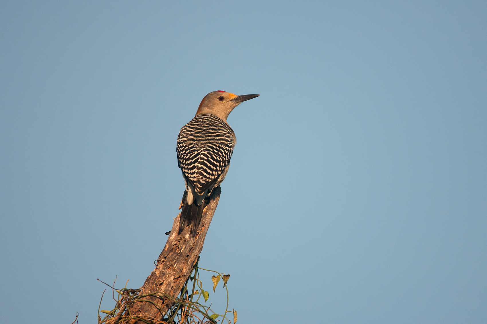 GOLDEN-FRONTED WOODPECKER - MCMULLEN COUNTY TX