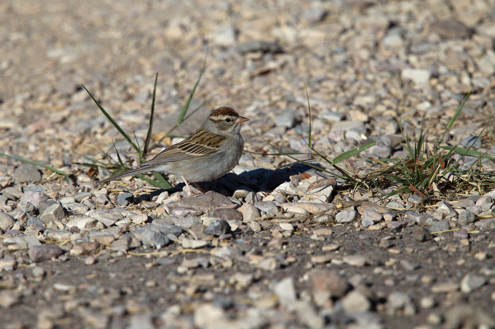 CHIPPING SPARROW - BREWSTER COUNTY TX MAY, 2016