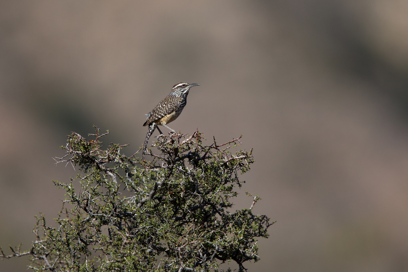 CACTUS WREN - BREWSTER COUNTY TX MAY, 2016