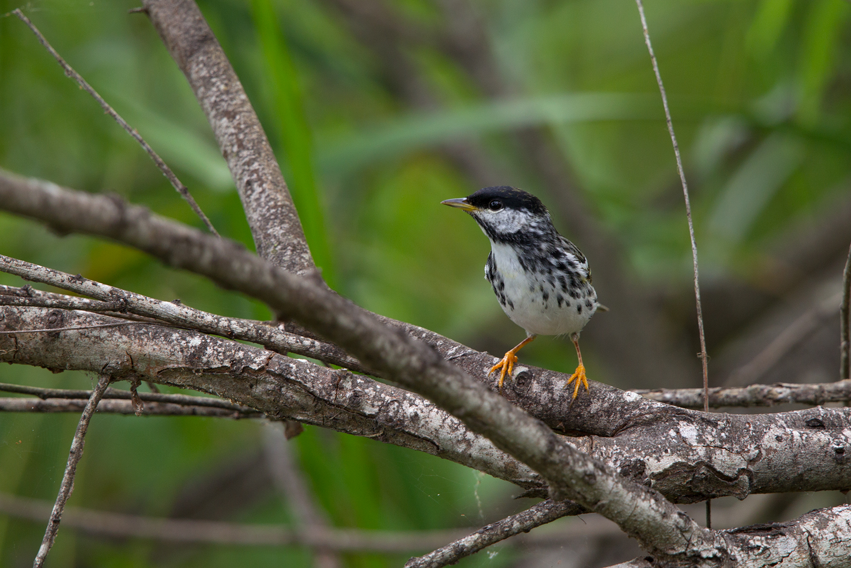 BLACKPOLL WARBLER - NUECES COUNTY TX MAY, 2016