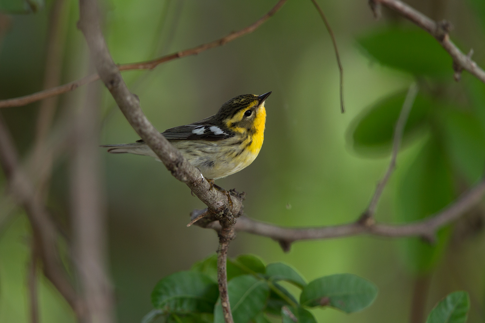 BLACKBURNIAN WARBLER - NUECES COUNTY TX MAY, 2016