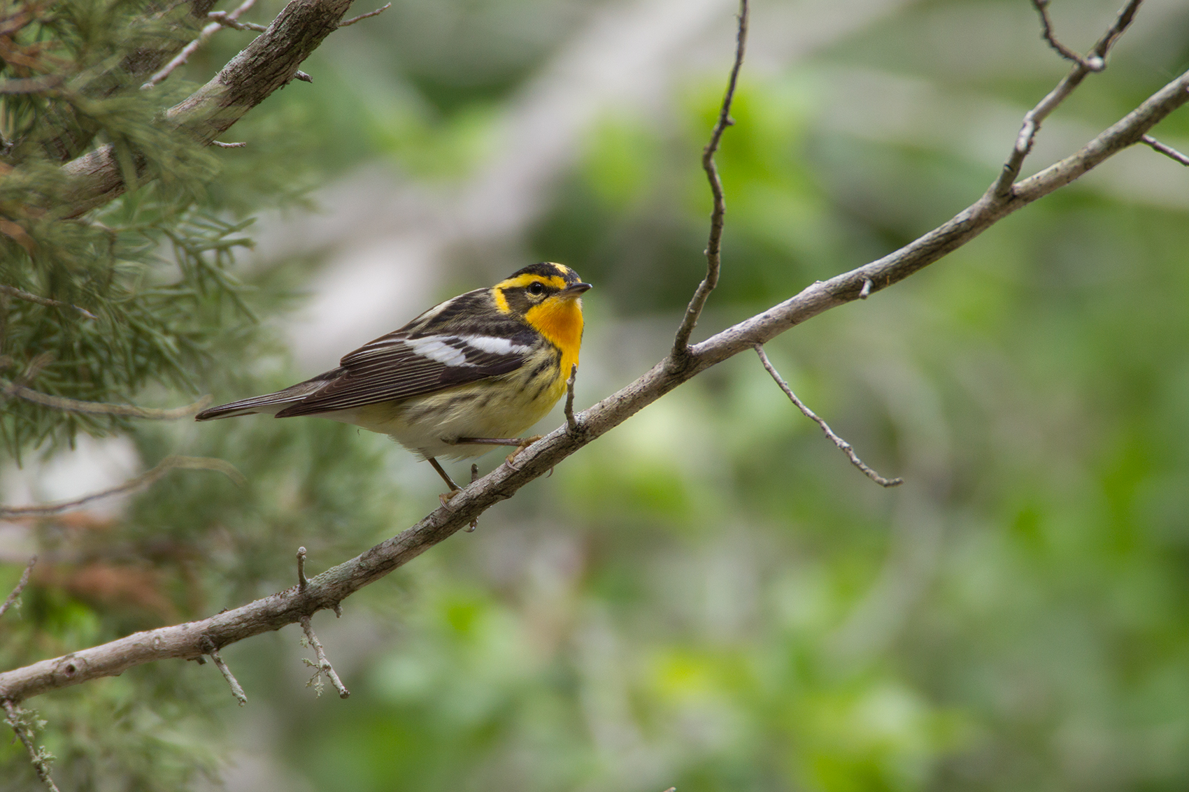 BLACKBURNIAN WARBLER - GUADALUPE COUNTY TX