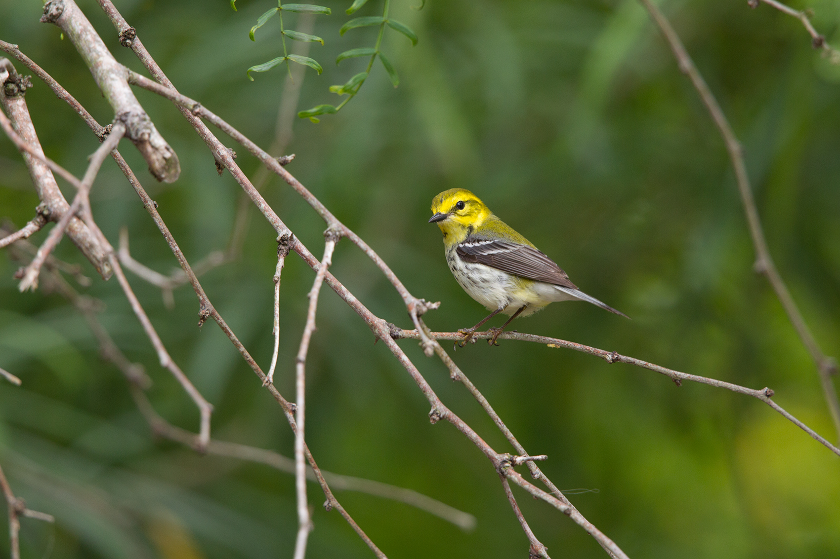 BLACK-THROATED GREEN WARBLER - NUECES COUNTY TX MAY, 2016