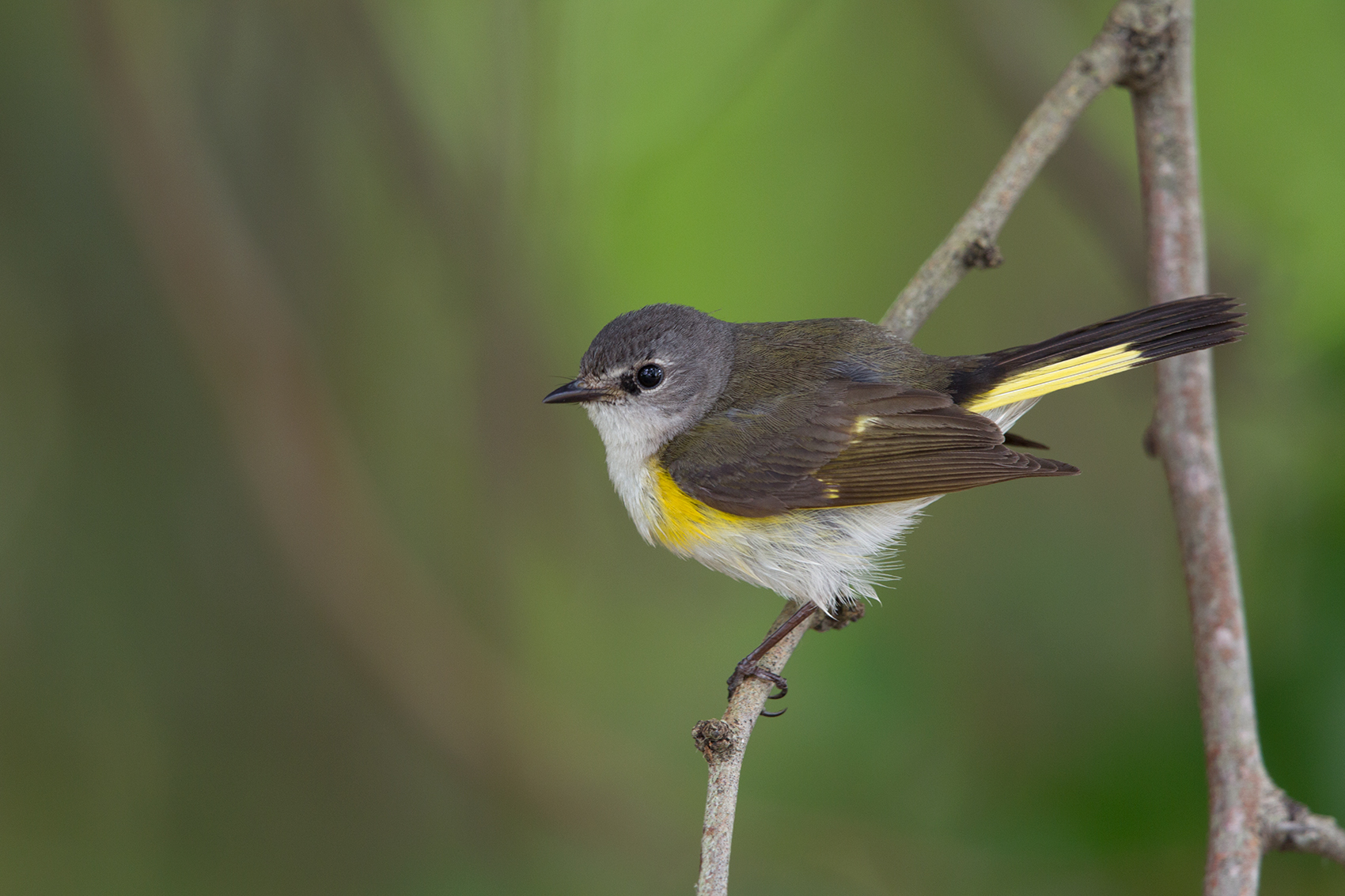 AMERICAN REDSTART - NUECES COUNTY TX MAY, 2016