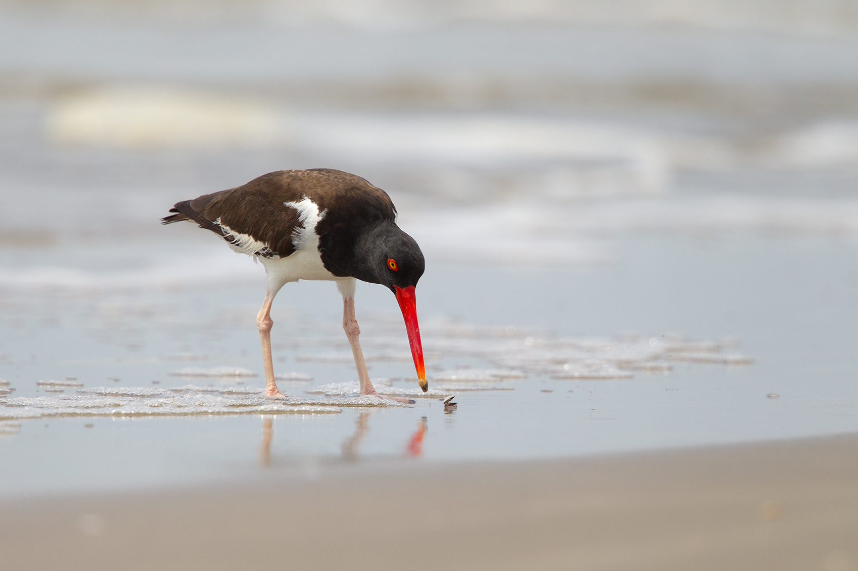 AMERICAN OYSTERCATCHER - GALVESTON COUNTY TX MAY, 2016