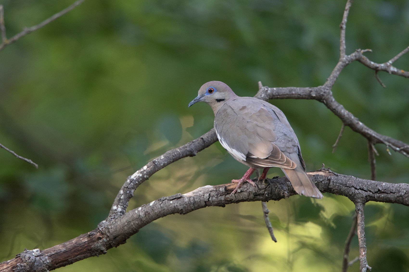WHITE-WINGED DOVE - TAYLOR COUNTY TX JULY, 2016