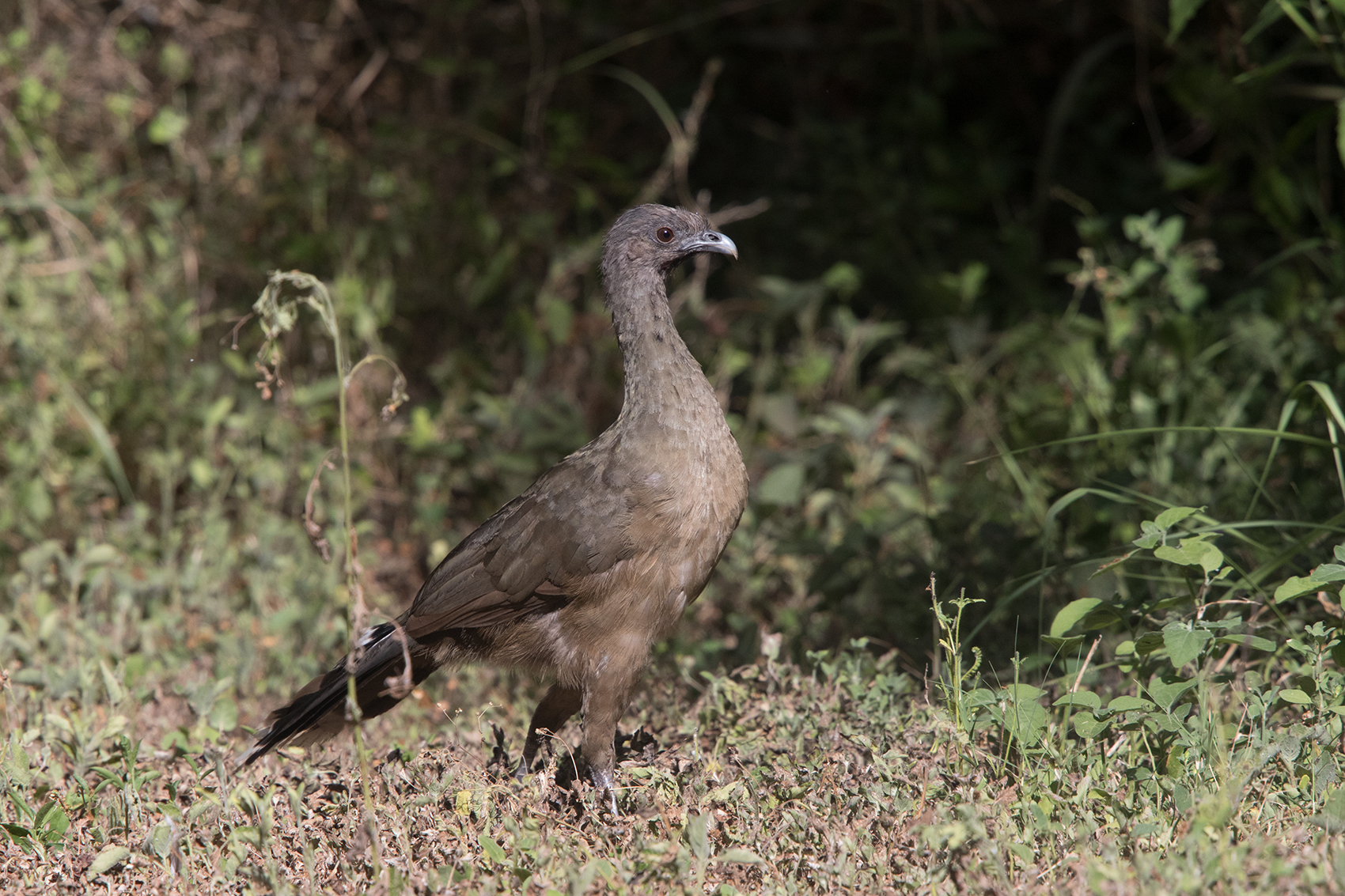 PLAIN CHACHALACA - HIDALGO COUNTY TX JULY, 2016