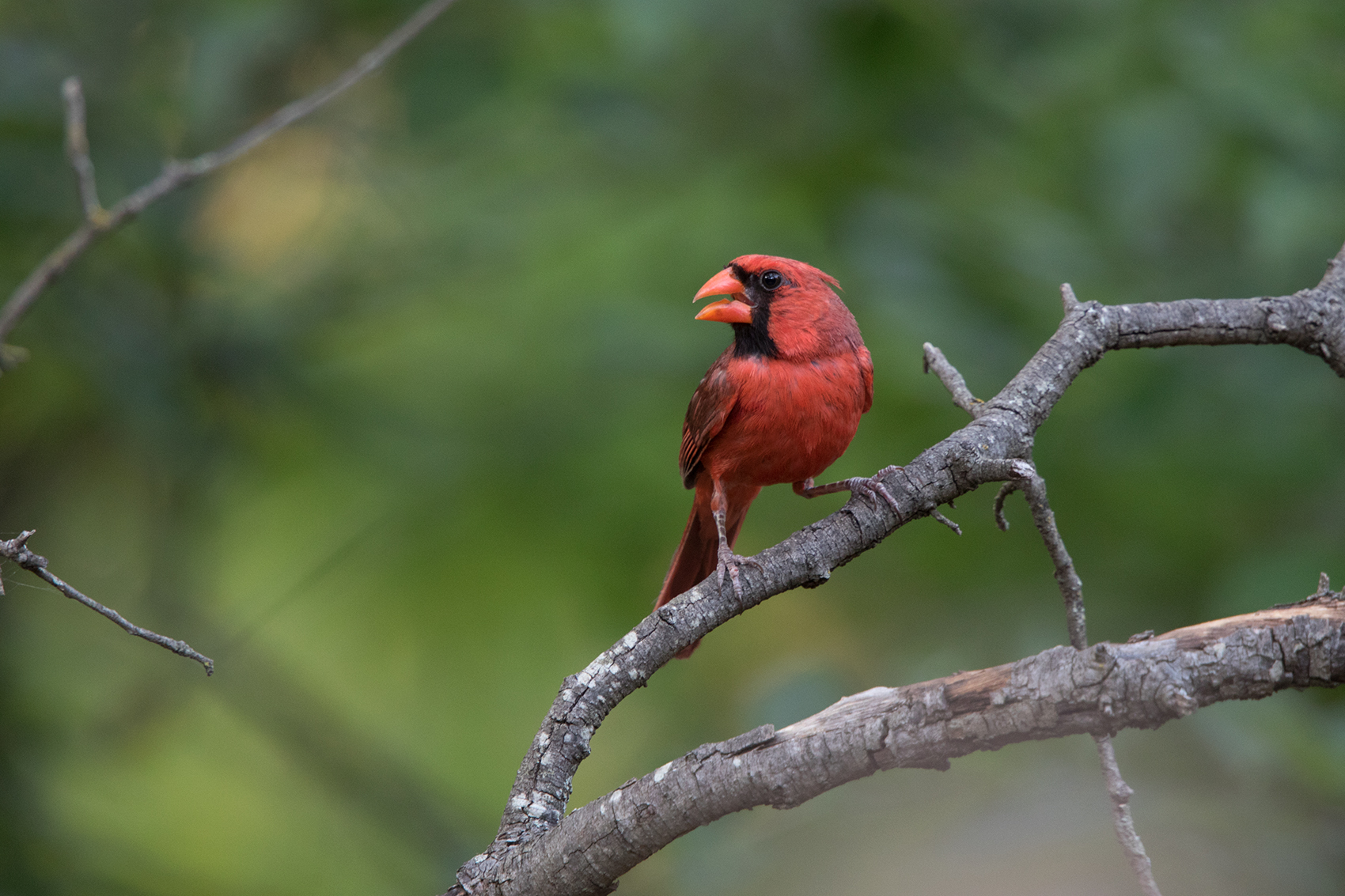 NORTHERN CARDINAL - TAYLOR COUNTY TX JULY, 2016