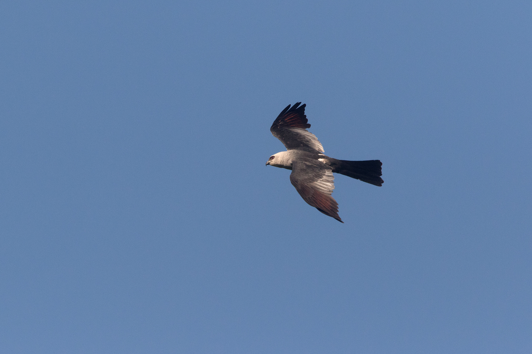 MISSISSIPPI KITE - TAYLOR COUNTY TX JULY, 2016