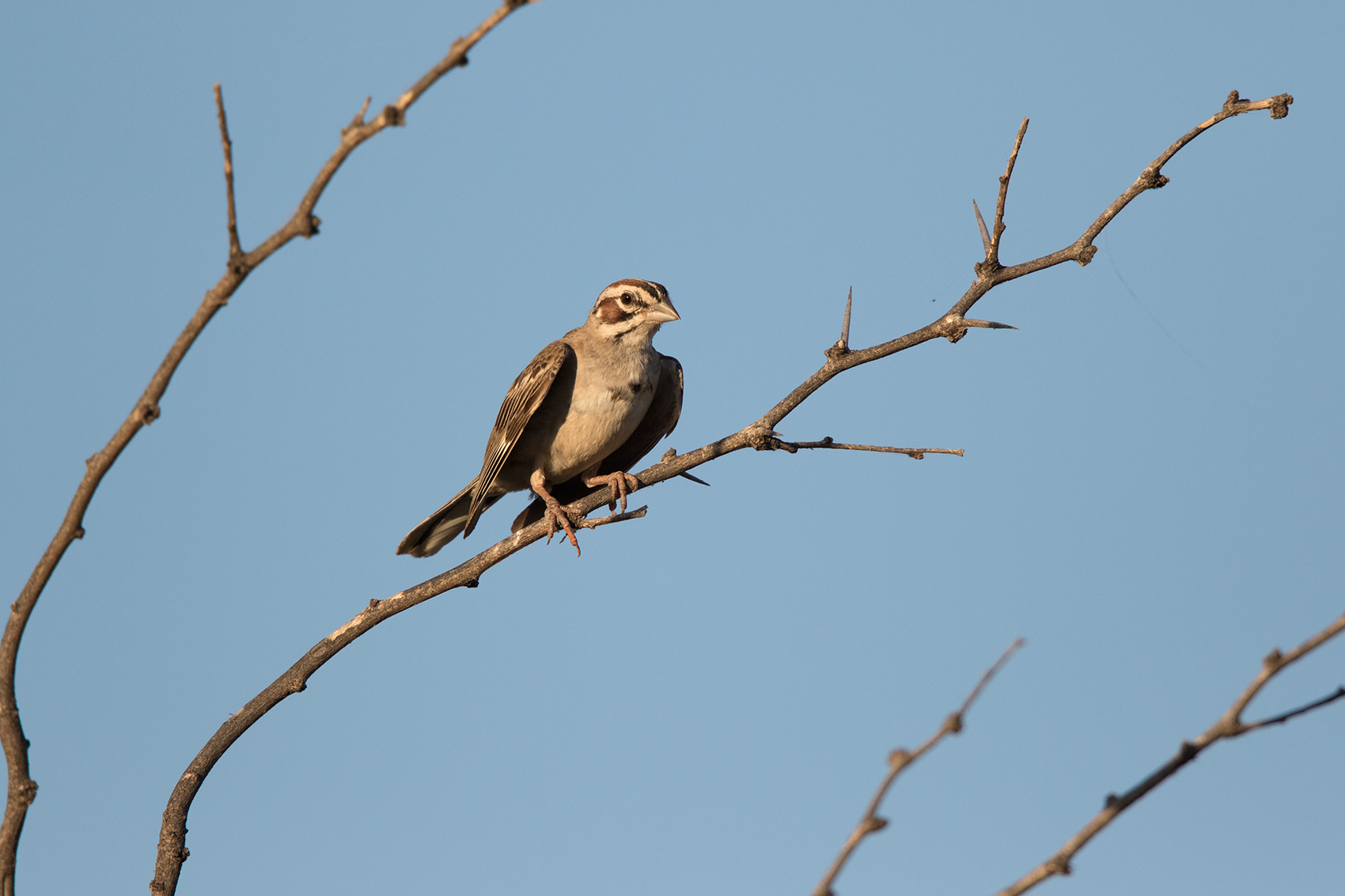 LARK SPARROW - TAYLOR COUNTY TX JULY, 2016