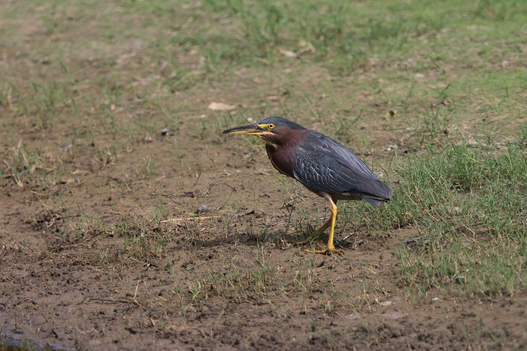 GREEN HERON - DALLAS COUNTY TX JULY, 2016