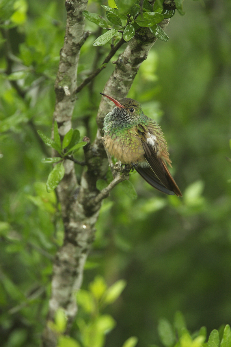 BUFF-BELLIED HUMMINGBIRD - HIDALGO COUNTY TX